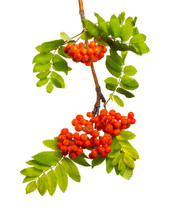 Branch Of Mountain Ash With Ri...