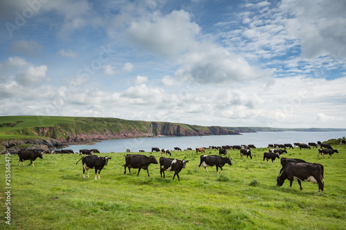 Foto op Canvas Kust Dairy cattle grazing on the cliffs at Barafundle bay in Wales, United Kingdom