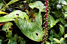 Pokeweed With Green Berries Spotted In Curicancha