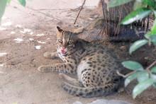Leopard Cat (Prionailurus Beng...