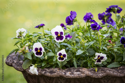 Papiers peints Pansies White and purple pansy flowers in a stone pot
