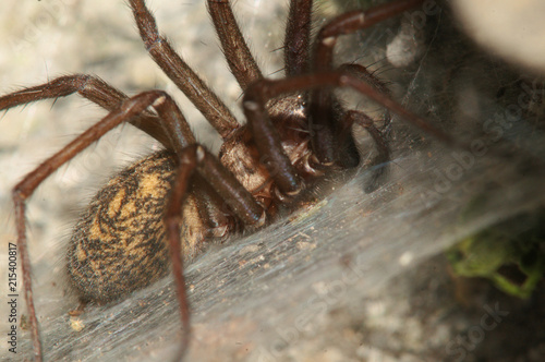 Tegenaria sp.; house spider on stone wall, Swiss village of Berschis