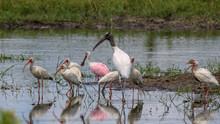 Wood Stork, Roseate Spoonbill ...