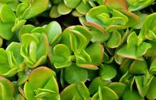 Jade Plant Leaf
