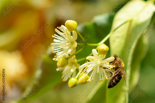 Macro photo of bees on flowers of linden. Plant decay with insects.