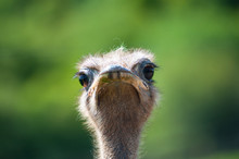 Ostrich Looking At Camera