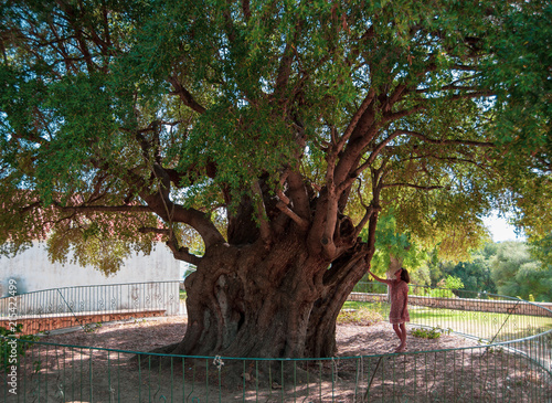 tysiacletnie-drzewo-oliwne