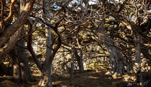 Monterey Cypres Tree Cluster A...