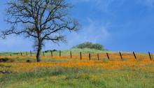 Wild Poppy Flower Field Near T...
