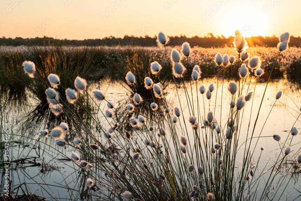 Moorlandschaft - flauschig blühendes Wollgras im Gegenlicht der untergehenden Sonne