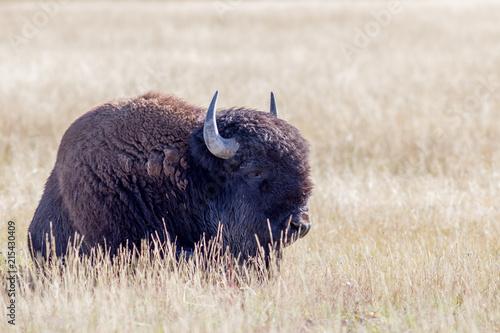 Foto op Aluminium Bison Bison resting in the sun