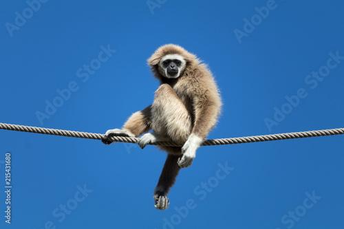 Valokuva White handed gibbon 3