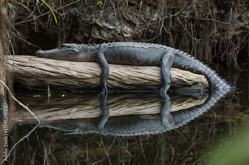 Papel de parede American alligator resting on log