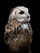 Siberian Eagle-owl