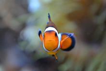 Clownfish/ Anemonefish/ Amphip...