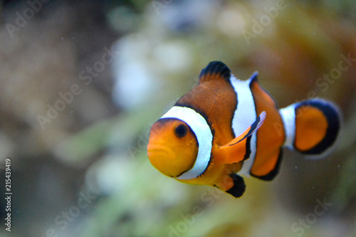 Tablou Canvas Clownfish/ anemonefish/ amphiprioninae
