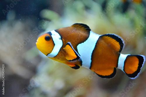 Clownfish/ anemonefish/ amphiprioninae Fototapet