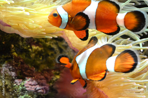 Plakat  Coral reef, two clownfish