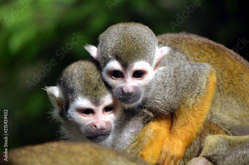Fényképezés  Two capuchin monkeys