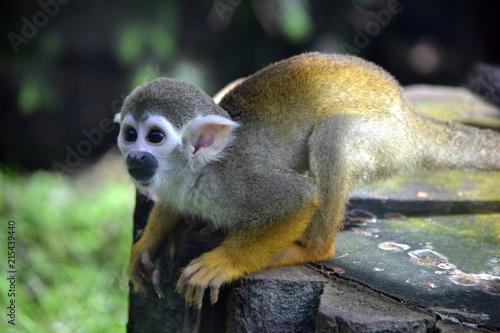 Fotografija  Capuchin monkey, selective focus