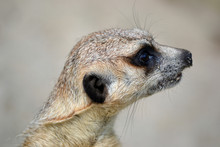 Meerkat - Head, Close-up