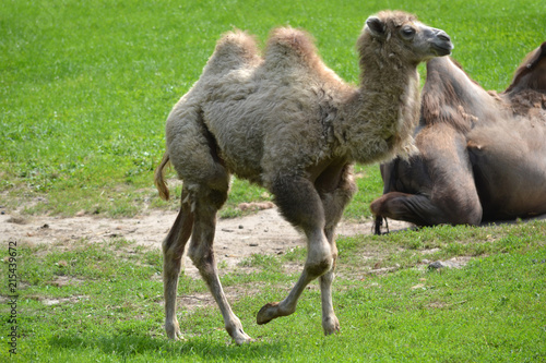Deurstickers Kameel Camel running on a grass