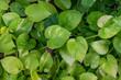 love green leaf background .