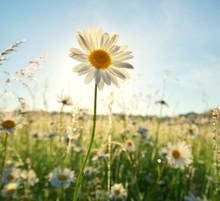 Spring Daisy Portrait And Sunshine.