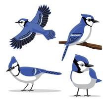 Cute Blue Jay Poses Cartoon Vector Illustration