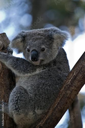 Poster Oceanië an Australian koala