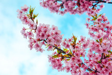 Close Up Of Pink Cherry Blossom Branch Or Sakura Flowers On Blue Sky And Cloud Background, Copy Space