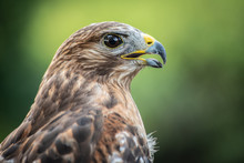 Red Shouldered-Hawk