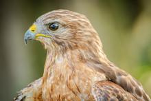 Red Shouldered-Hawk