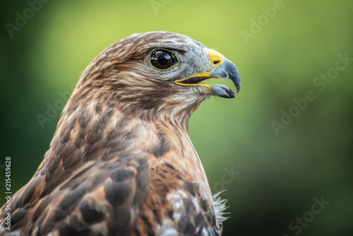 Photo Red Shouldered-Hawk