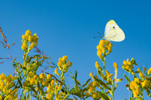 Yellow Flowers Meadow Wild Plant On Blue Sky Background With Empty Space For Text, Summer Landscape