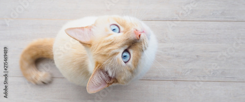 banner for website, sweet young white cat with blue eyes plays, rests, stretches,