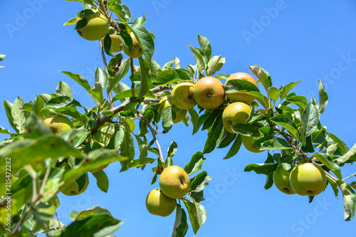 Fototapeta  Äpfel am Baum im Sommer vor blauen Himmel