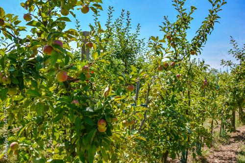 Apfel Plantage im Sommer Canvas Print