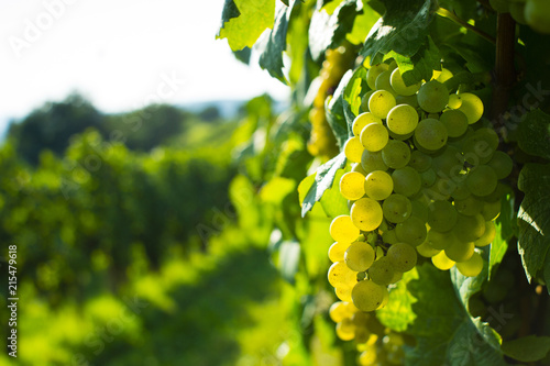 Fotomural  wine grapes on cordon at wineyard before harvest