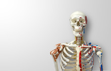 Closeup Human Skeleton Model