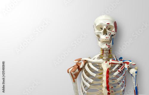 Láminas  closeup human skeleton model