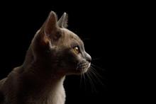 Closeup Portrait Of Gray Kitte...