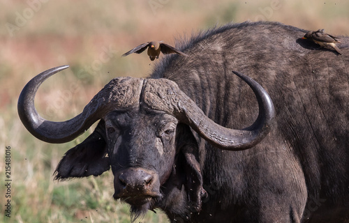 In de dag Buffel African Cape buffalo