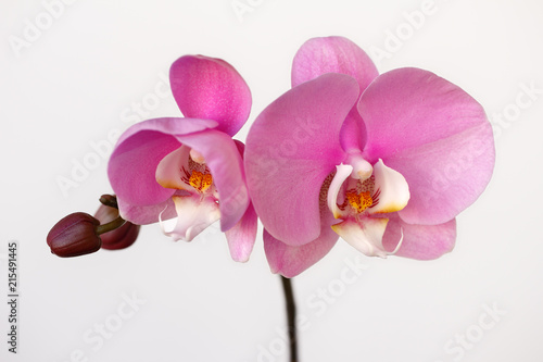 Poster Orchidee Pink-white orchid (orchidaceae) flower on the white background