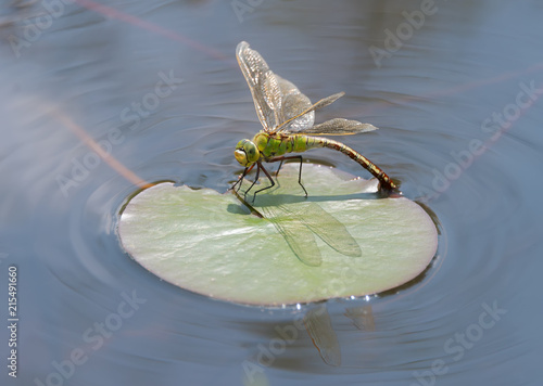 Female emperor dragonfly, Anax imperator, laying eggs, Germany