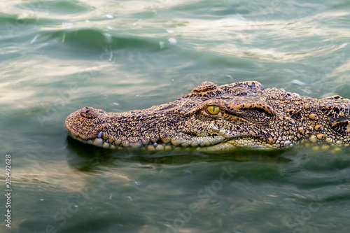 Foto op Plexiglas Krokodil wildlife crocodile floating on the water and waiting to hunt an animal in the river. animal wildlife and nature concept.