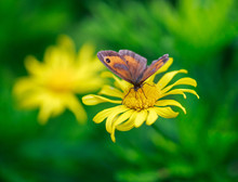 Meadow Brown Butterfly Perched On A Yellow Dasiy Flower With A Natureal Blurred Green Garden Background