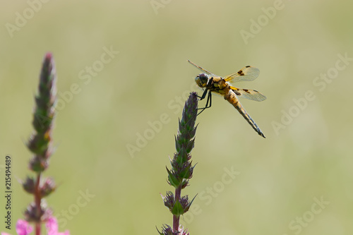 Dragonfly four-spotted chaser, Libellula quadrimaculata, perching on a plant, Germany