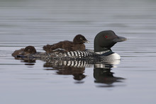 A Two-week Old Common Loon Chick Rides On Its Parent's Back While Its Sibling Swims Behind