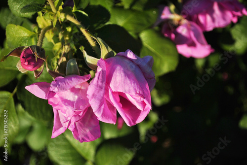 Fotografia, Obraz  Bush with pink roses flowers, close up detail, soft blurry background